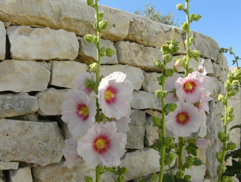 Ma Pause Détox - Rose trémière sur l'Ile de Ré